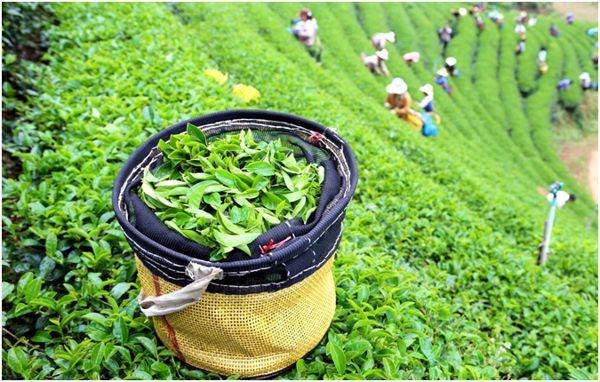 листья с чайного куста