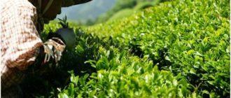 китаянка при сборе чая