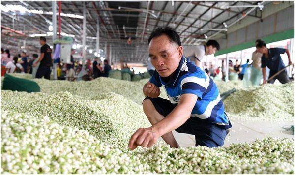 жасмин на чайной фабрике