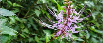 ортосифон растение