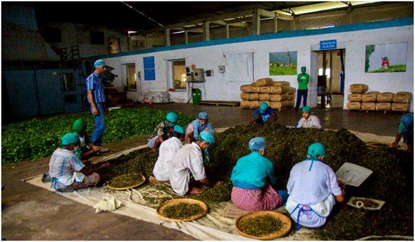 ручная сортировка чая на фабрике