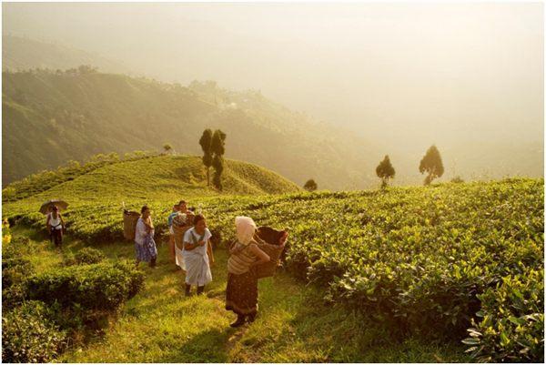 сбор чая в дарджилинге
