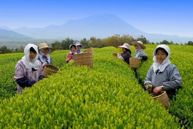 сбор желтого чая