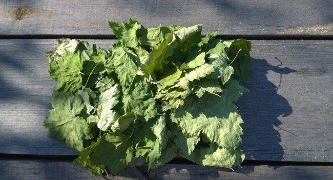 сухой смородиновый лист